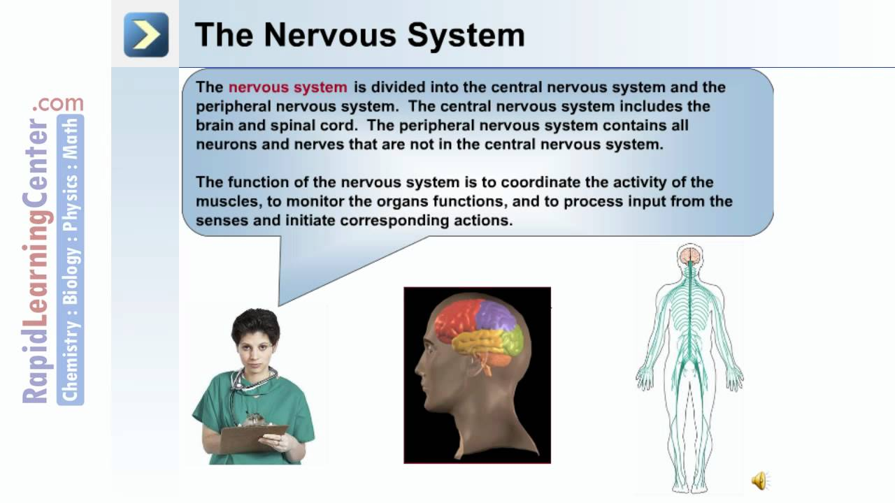 Neural Tissue And The Nervous System What Is The Nervous System