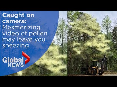 What does pollen look like? Man with a backhoe will show you