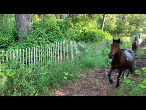 2019  Chincoteague Pony Penning.   Southern herd round up. July 20, 2019 Chincoteague Island, VA