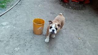 Coco bulldog thumbnail