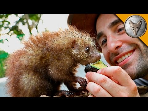 Tiny Porcupine LOVES Treats!