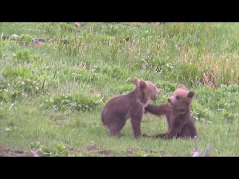 Adorable bear cubs wrestling in Yellowstone!