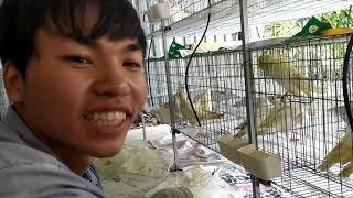 Đầu tư lớn nuôi bồ câu titan của ông chủ trẻ.Trai chim giống thế phong dt 0978455670!!
