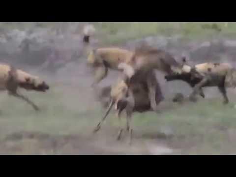 Chó đánh chết linh cẩu - www.SimDepDongNai.com - Bán sim VIP.flv