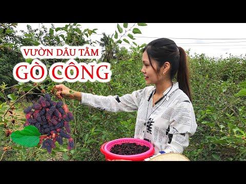 VƯỜN DÂU TẰM GÒ CÔNG SAY TRĨU QUẢ -Cách Làm Siro Dâu Tằm- Nguyễn Ngọc Kiều