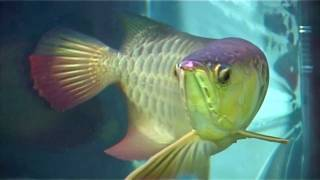 AROWANA BREEDING IN INDIA
