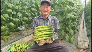 [혹한기 오이농장] 농자재 투입 절반으로 줄인 시설하우…
