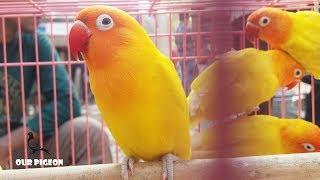 Beautiful Colorful Birds | Love Birds | Budgerigar Birds | Parrot Birds | Amazing Birds Sounds
