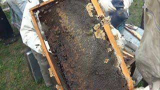 Kestane balı sağımı Borçka  #honey harvest