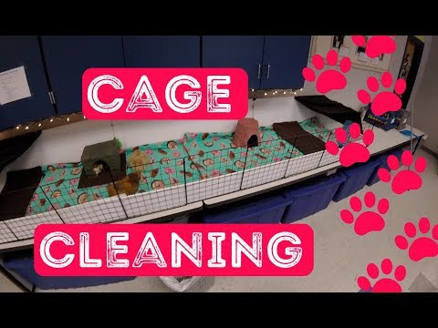 GoPro - Cleaning Guinea Pig Cages and Chatting | 6 Classroom Guinea Pigs