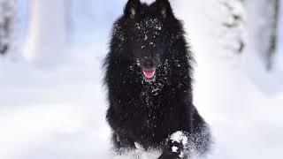 Belgian Sheepdog  Dog Breed  Pet Friend
