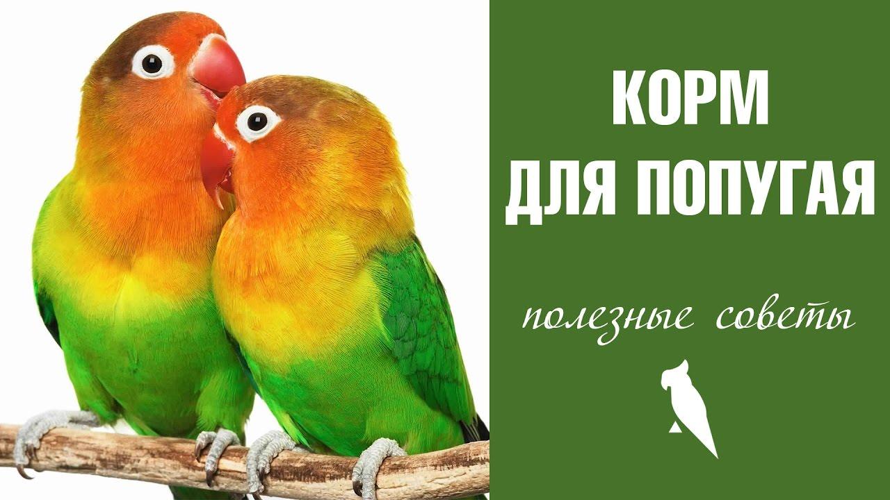Певчий попугай (psephotus haematonotus) длина тела 27-28 см, хвоста 14 см. Окраска оперения очень пёстрая. Брюшко жёлтое, а спина, грудь, голова.