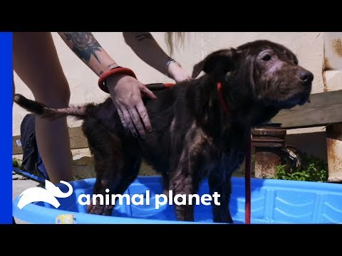 Dog With Huge Tumor and Severe Skin Condition Needs Urgent Care | Pit Bulls & Parolees
