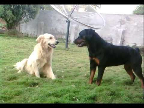 Rottweiler Atacando Golden Retriever Youtube