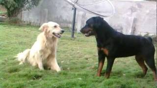Rottweiler Atacando Golden Retriever