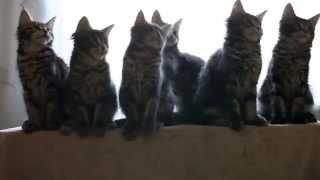 Игривые котята породы Мейн-Кун в возрасте 3-х месяцев
