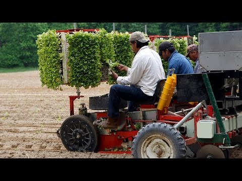 Planting tobacco in Rolesville