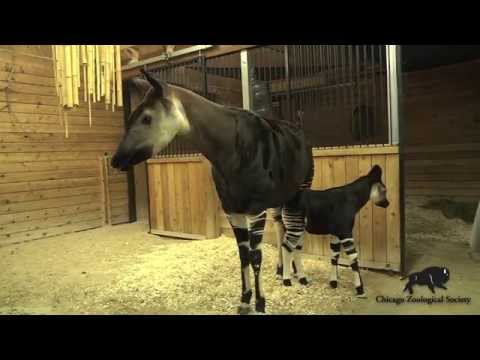 Cute Okapi Calf Born at Brookfield Zoo!