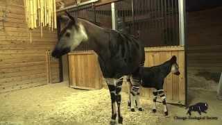 Cute Okapi Calf Born at Brookfield Zoo!