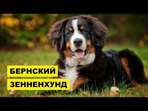 Собака Бернский зенненхунд плюсы и минусы породы   Собаководство   Порода Бернский зенненхунд