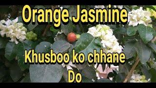 How to grow murraya paniculata ( कामिनी kamini plant)   || kunti plant||  care and tips