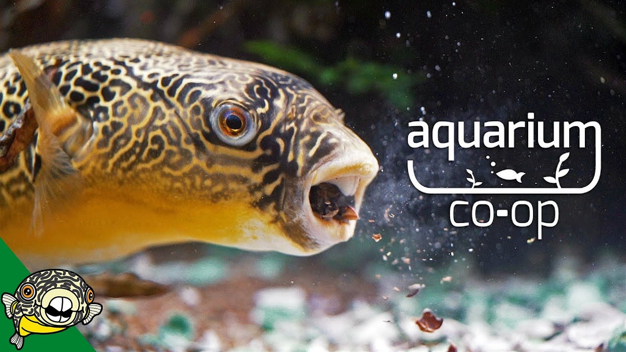 wow-he-ate-it-puffer-fish