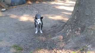 Thompson Kennels(HOW TO FEED YOUR GAME DOG PT2)