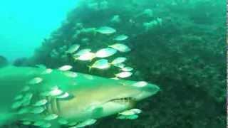 SHARKS, SHARKS, SHARKS - Grey Nurse Sharks of Stradbroke Island - July 2013