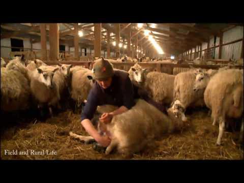 A Night Shift Lambing 1800 Ewe's