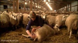 A Night Shift Lambing 1800 Ewe