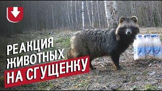 Медведь, ворон и енотовидная собака: реакция лесных зверей на упаковку сгущенки попала на видео