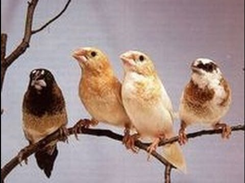 Image result for society finches