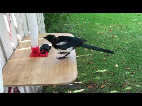 Magpie trades bottle-cap for food, high resoltion