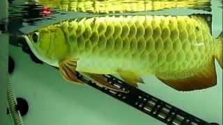 24K Gold Arowana (2013)