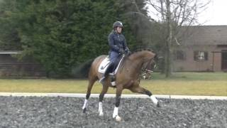 7-8 y old dressage small tour gelding by Wynton-Inspekteur for sale