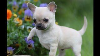 Чихуахуа/Chihuahua (порода собак HD slide show)!