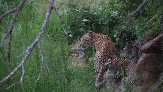 Leopards of MalaMala - Raising Cubs: The Lookout female.