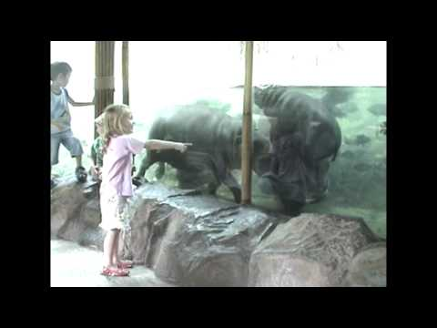 Baby Pygmy Hippo Goes for a Ride
