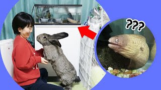 Giant Rabbit & Moray Eels? (Unlikely Roommates!) ジャイアントうさぎとサビウツボ! (変なルームメイト)