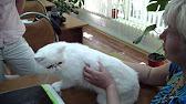 Самая коротколапая порода, кот породы Манчкин - YouTube