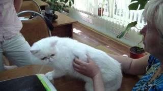 Экзотическая порода кошек системы PCA