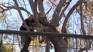 Cutting Branch On Jacaranda Tree