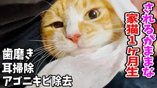 家猫1ヶ月生茶々まる色んなケアをされるがままに身を任せる