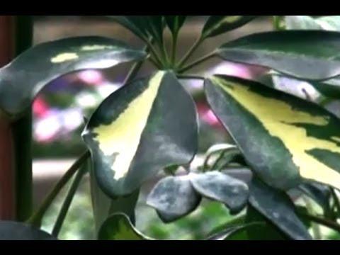 Şeflera Bitkisi (Schefflera) - Şeflera Çiçeğinin Özellikleri ve Tanıtımı