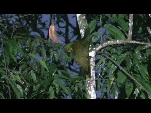 colugo [4/6 in borneo sukau rainforest lodge]