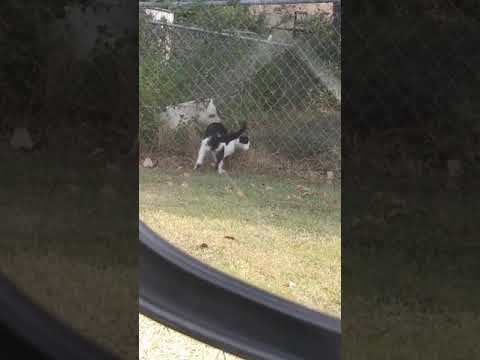 Cat and Huge doggy playing spy cam