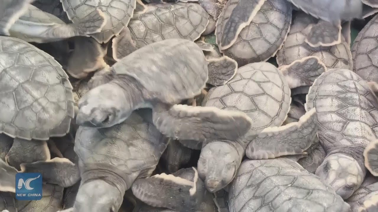 Baby Sea Turtles Released In Cancun Youtube