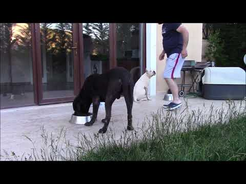 Dogo Argentino & Cane Corso  **Yemek zamanı // Feeding Time**