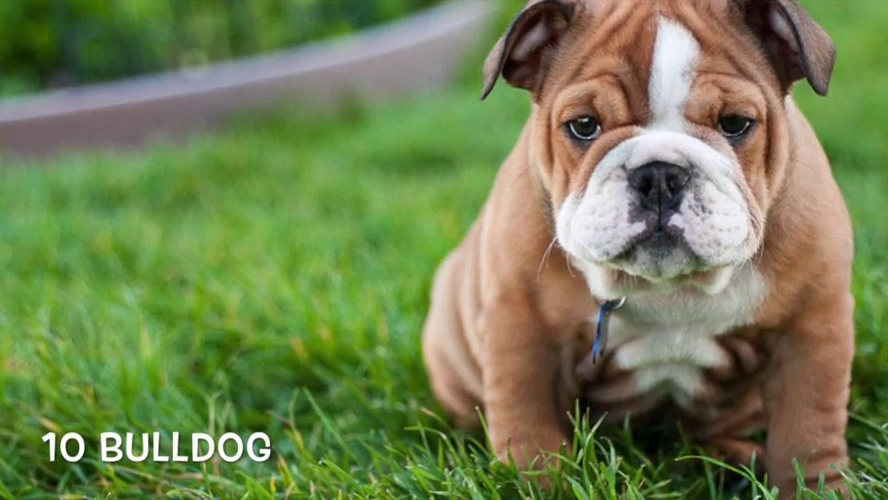 Top Ten Cutest Puppies Youtube