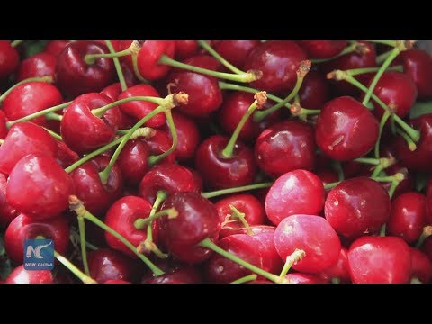 Chinese demand keeps Chile's cherry sector booming